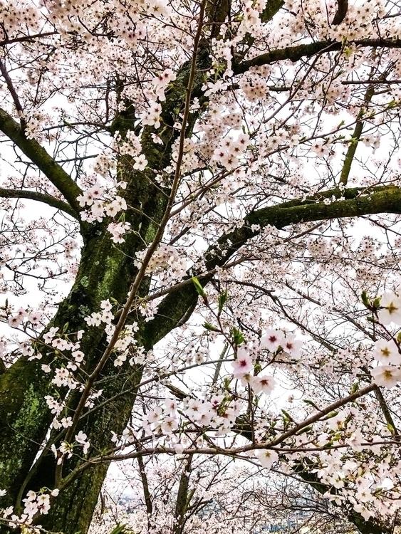 Blossoms - Cherry - hokushin   ello