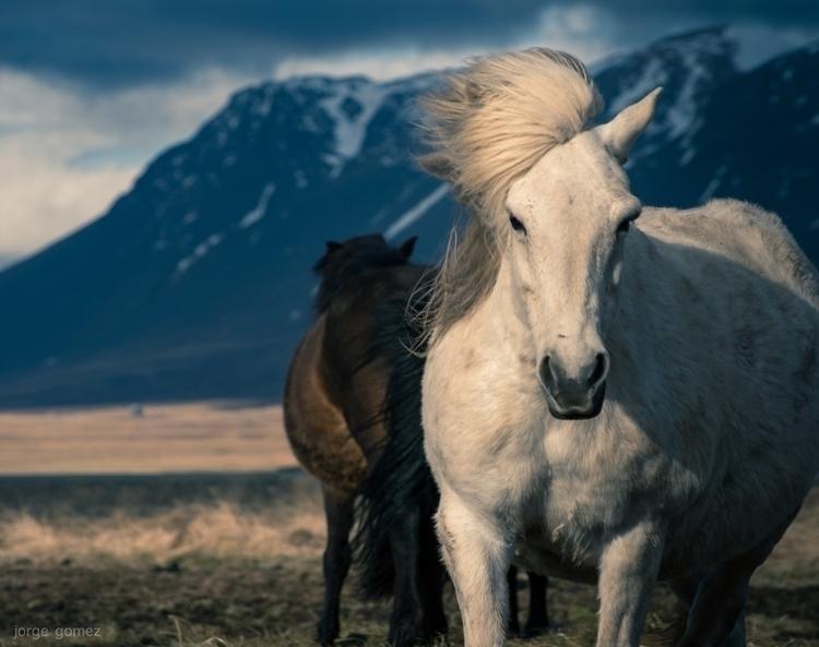 Horses Iceland Beautiful horses - jorgegomez | ello