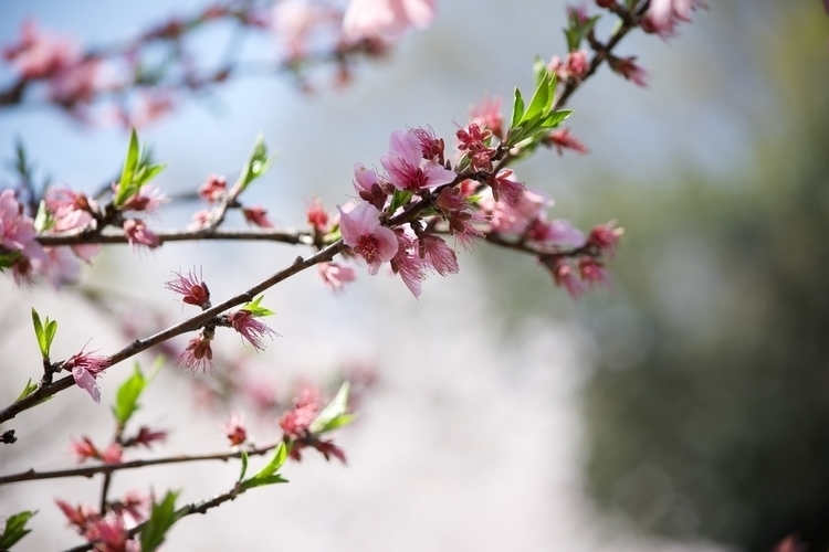 Sakura, Japan, Spring, Photography - steverappmusic | ello