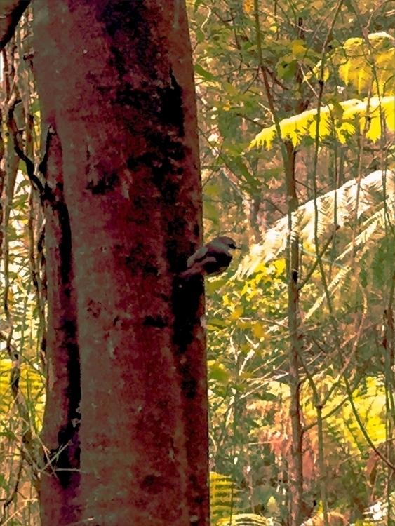 Eastern Yellow Robin Forest - Sherbrooke - sacrecour | ello