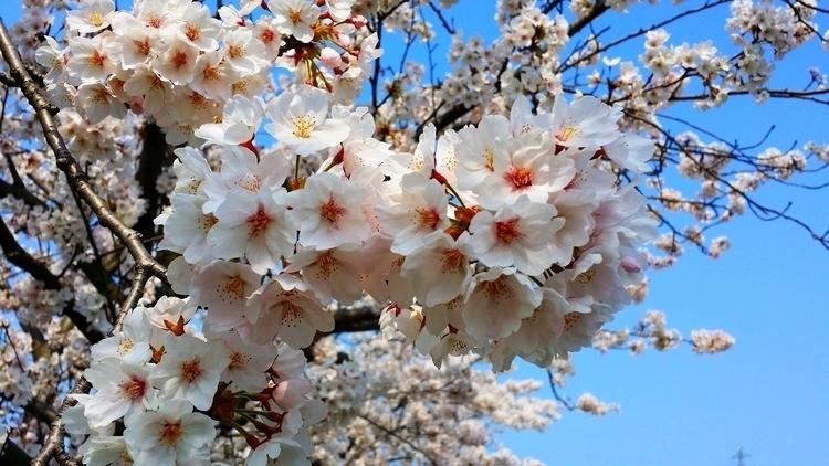 Beauty Transience: Cherry bloss - millis | ello