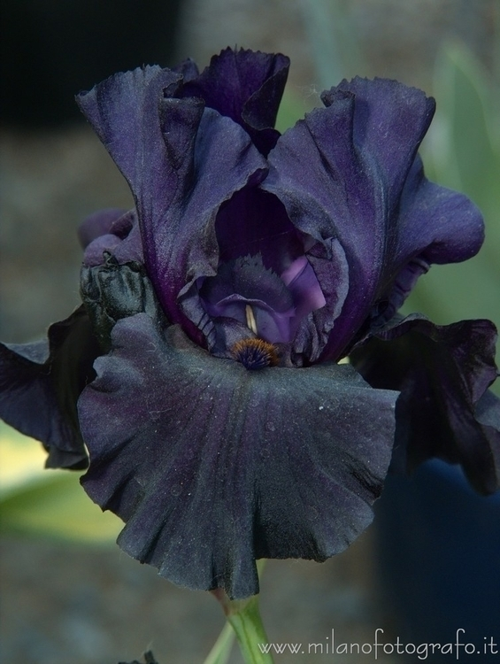 Milan, Italy: Black iris Ortico - milanofotografo   ello