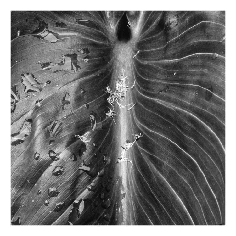 Calla leaf - guillermoalvarez | ello