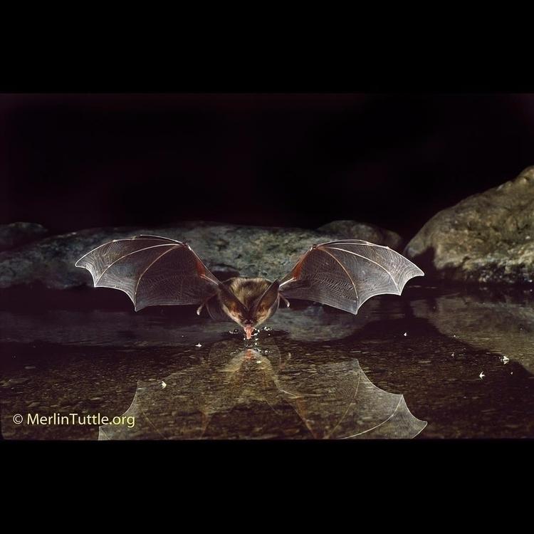 Big-Eared Bat big-eared bat enj - tuttledvd | ello