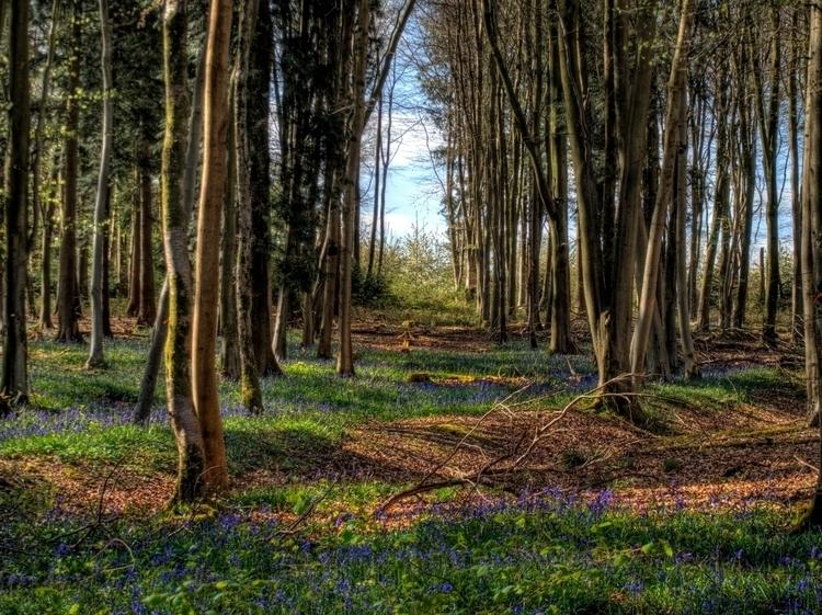 Bluebells West Wood - carpet fl - neilhoward | ello