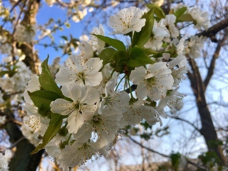 springday, ellophotography, cherryblossom - ellamichaelis | ello