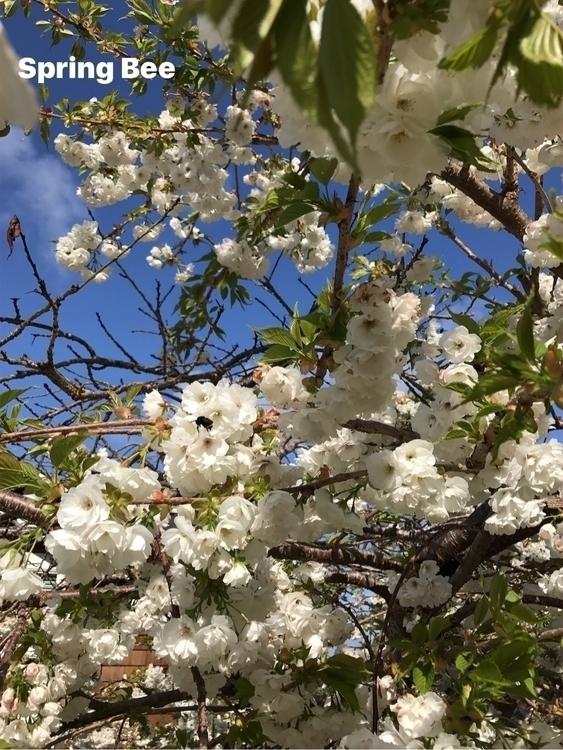 *Spring Bee* bumblebee - pollinator - iquitoz   ello
