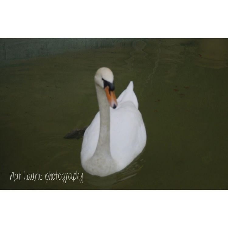 White swam - photos, photographer - nataliasr81 | ello