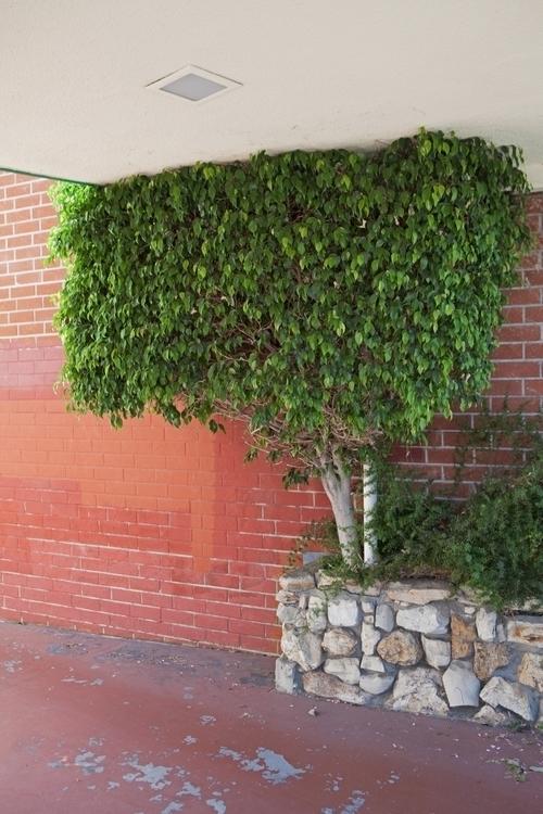 Ficus Tree, Driveway, San Gabri - odouglas | ello