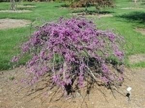 Redbuds - Northeast shrubs,#Eve - grimmsgardens | ello