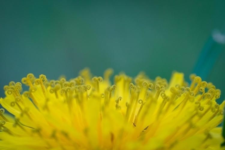 *Curled Golden Lion* macro lens - jeffmoreau | ello