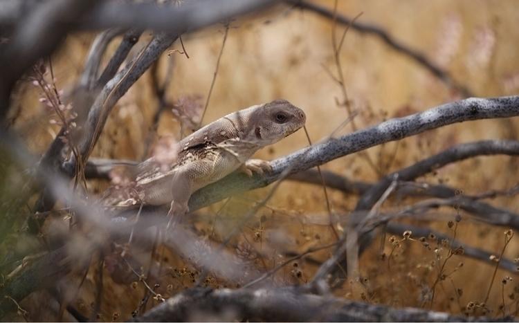 desert_iguana, Dipsosaurus_dorsalis - bamps | ello