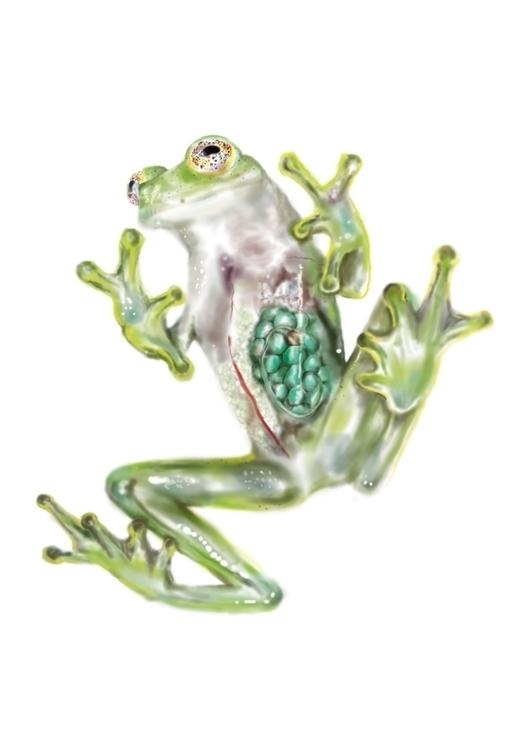 Glass frog - illustration, science - cibelle-7505 | ello