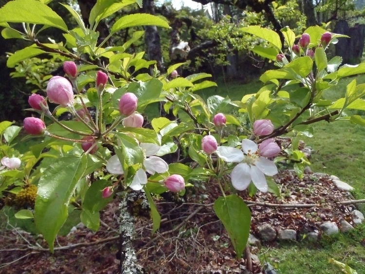 Spring blossoms apple tree guil - socratesgonewild | ello