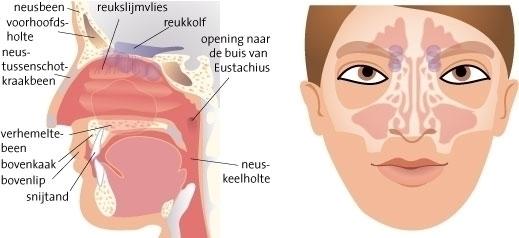 nasal cavities - biology - gemmastekelenburg | ello