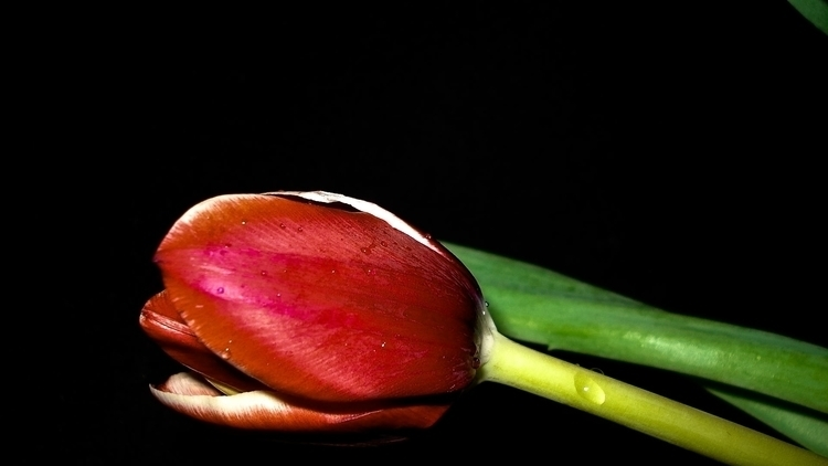 Red Tulip IV - photography - heatherb-1015 | ello