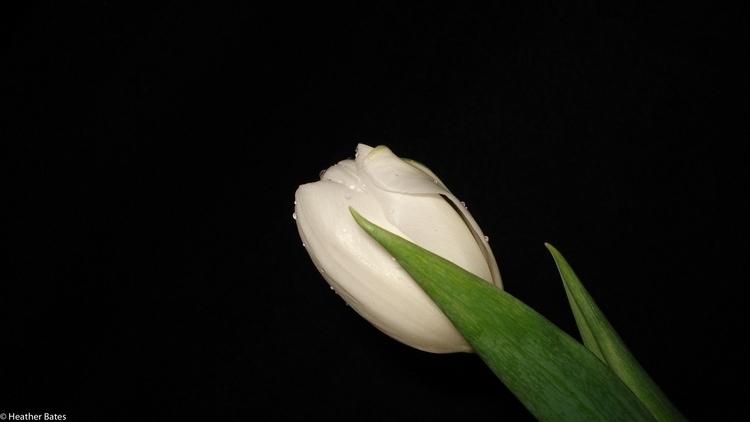White Tulip - photography - heatherb-1015 | ello