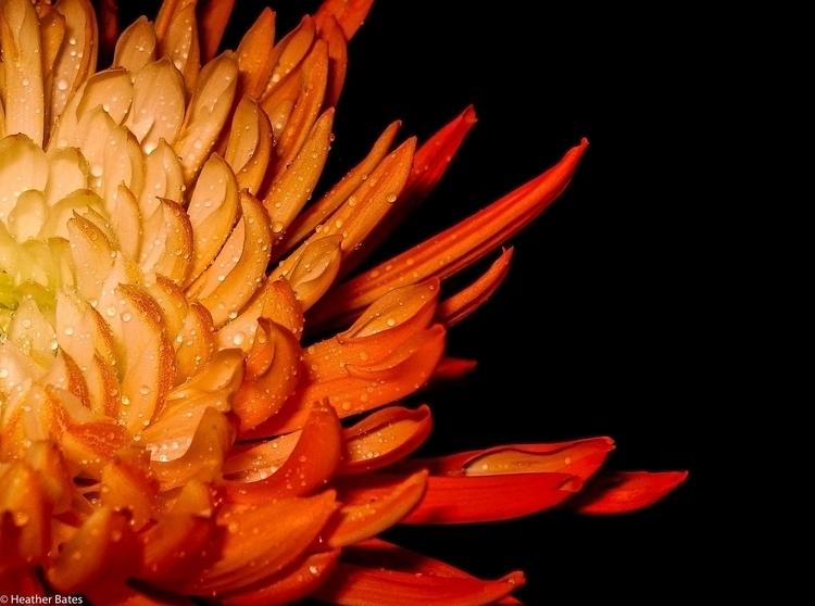 Orange Mum - photography - heatherb-1015 | ello