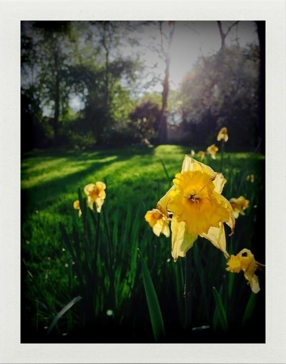 Wilting Narcissus situ, Paris,  - lucileadam | ello