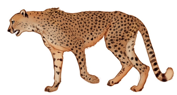 cheetah, feline, illustration - keit | ello