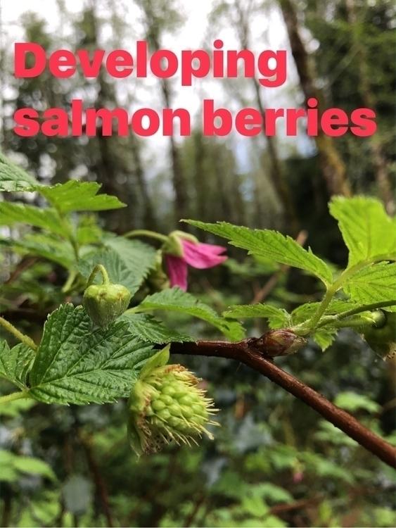 Noon Wuu Backyard fruit - salmonberry - iquitoz   ello