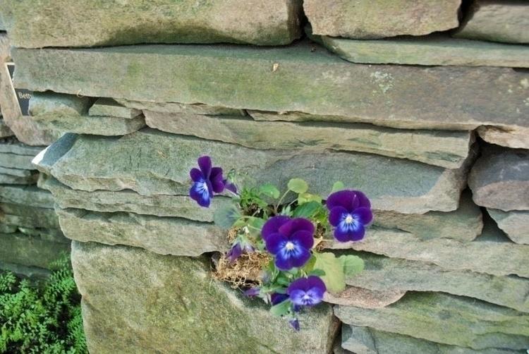 Pansies Cleveland Botanical Gar - angelasabetto | ello