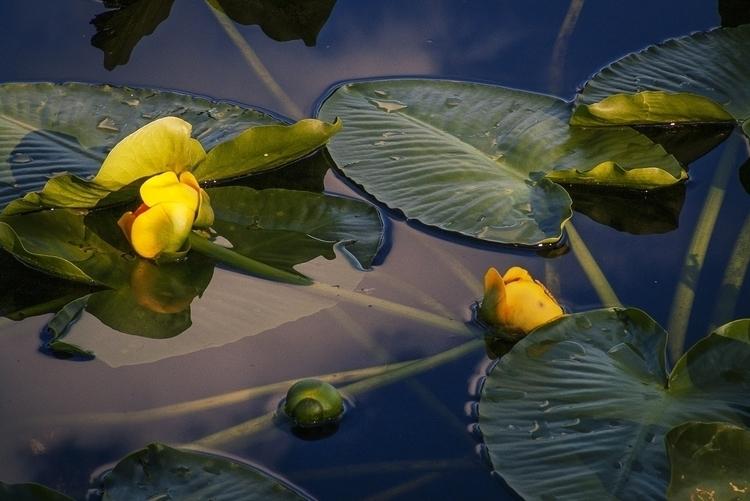 Lilies, Bud Lake, Uinta Mountai - glpede48 | ello