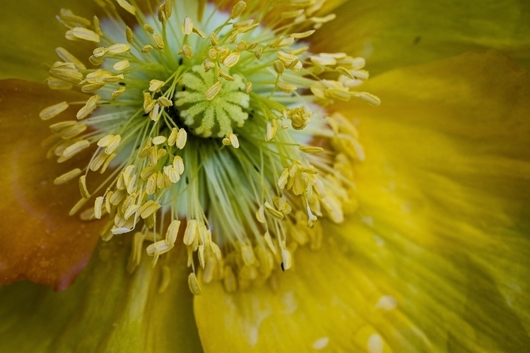 California Poppy - photography - glpede48 | ello