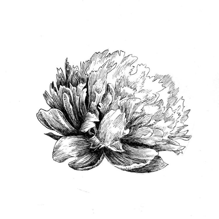 Peony - drawing, illustration, #flowers - karolina-4327 | ello