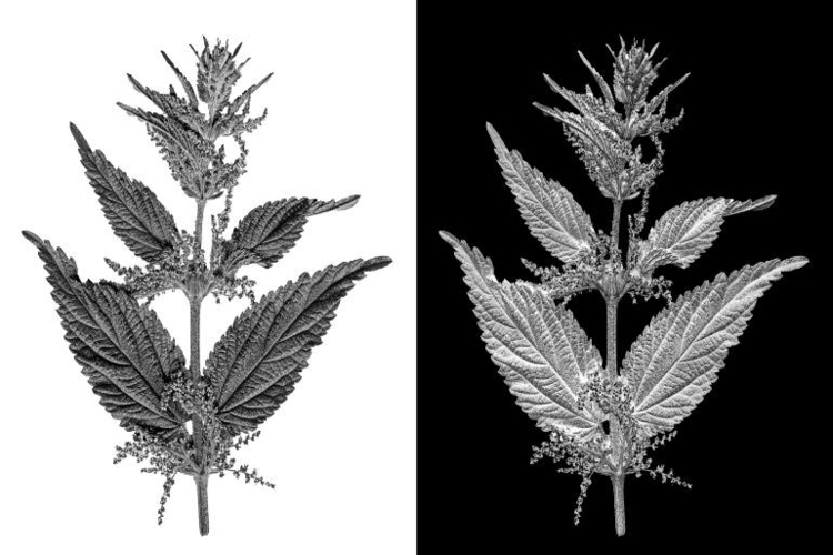 Scanned leafs stinging nettle,  - leo_brix | ello