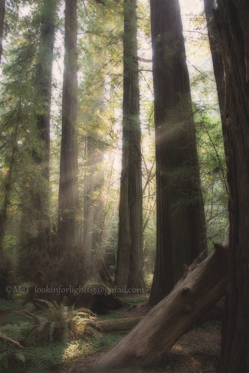 Morning Light Redwoods - photography - lookinforlight | ello