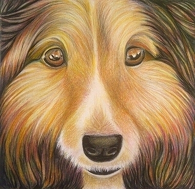 Collie - pet, coloredpencil, collie - sylverdesign | ello