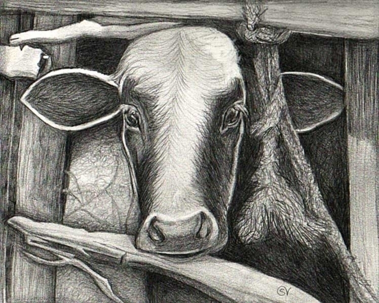 Moo - pencil, graphite, cow, illustration - sylverdesign | ello
