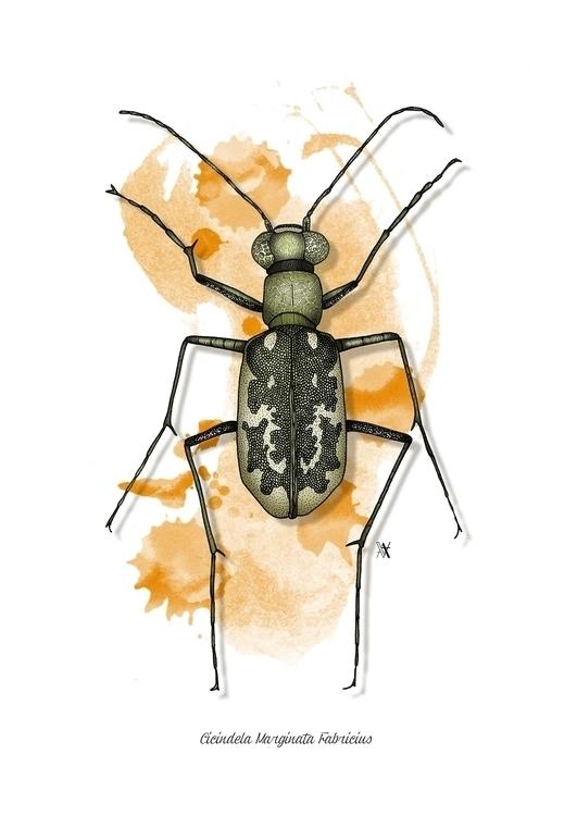 Cicindela Marginata Fabricius - illustration - akumimpi | ello