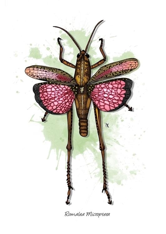 Romalea Microptera - illustration - akumimpi | ello