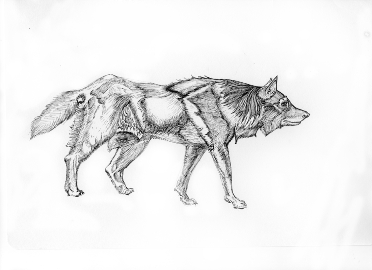 Pensive Wolf - illustration, ink - rebeccalee-1135 | ello