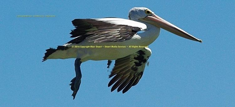Magnificent Sea Bird - photography - stuartmedia | ello