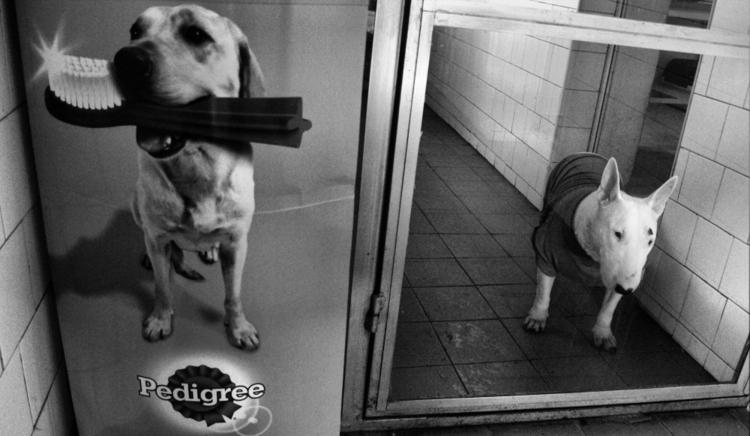 BIG NOSE - dog, bullterrier, pet - cornelgin | ello