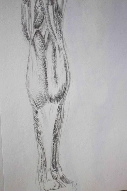 Leg Muscles - anatomy, illustration - mhettich | ello