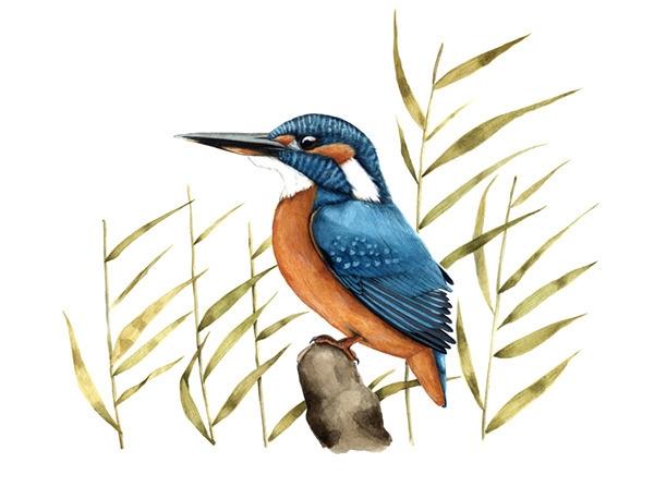 Common kingfisher (Alcedo atthi - smugasta | ello