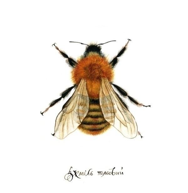 illustration, watercolor, bumblebee - smugasta | ello