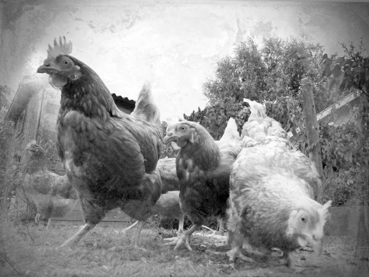Poules - Pseudo sténopée - Swolfs,BW,NB,Sténopée,paysage,poules,landscape,oldphotrography, - swolfs | ello