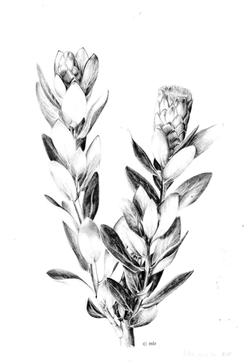 Protea mundii - drawing, pencil - marikeleroux | ello
