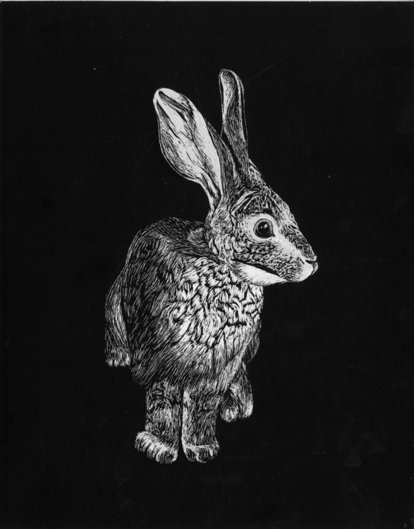 Riverine Rabbit - illustration, scraperboard - marikeleroux | ello