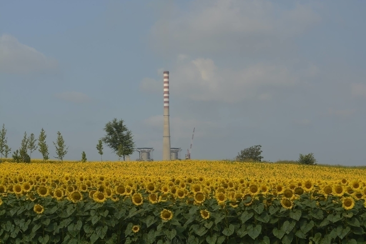 sunshine Helianthus field. Drmn - tomasch516   ello