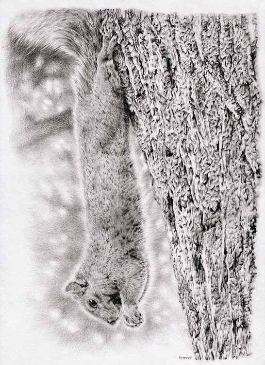 Squirrel pencil drawing - animal - remrov | ello