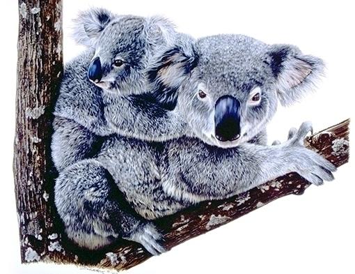 Koala - ziyae | ello