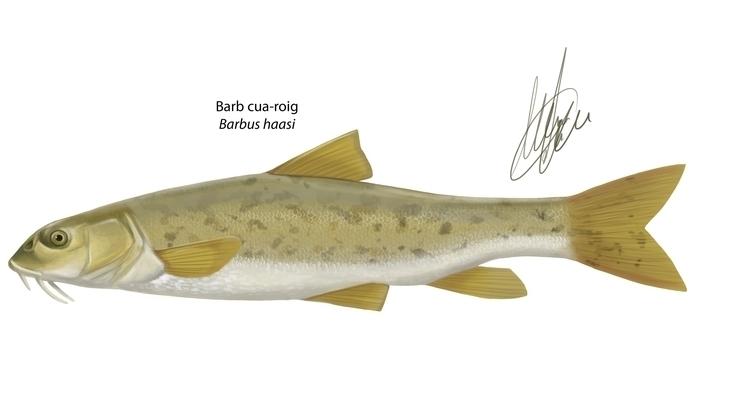 Barbus haasi. Scientific illust - marcmontenegro | ello