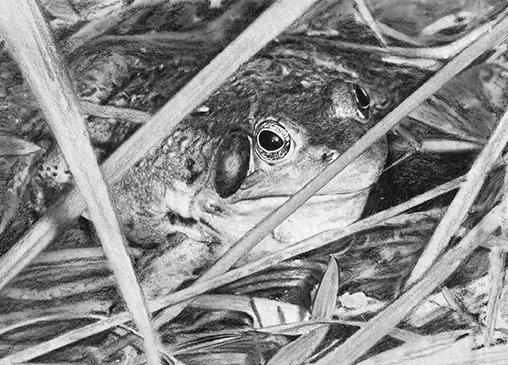 Title: Bull Frog - dbapst | ello