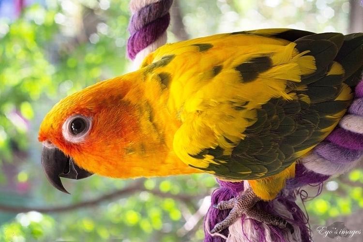 parrot, bird, orange, sunconure - egosbar | ello